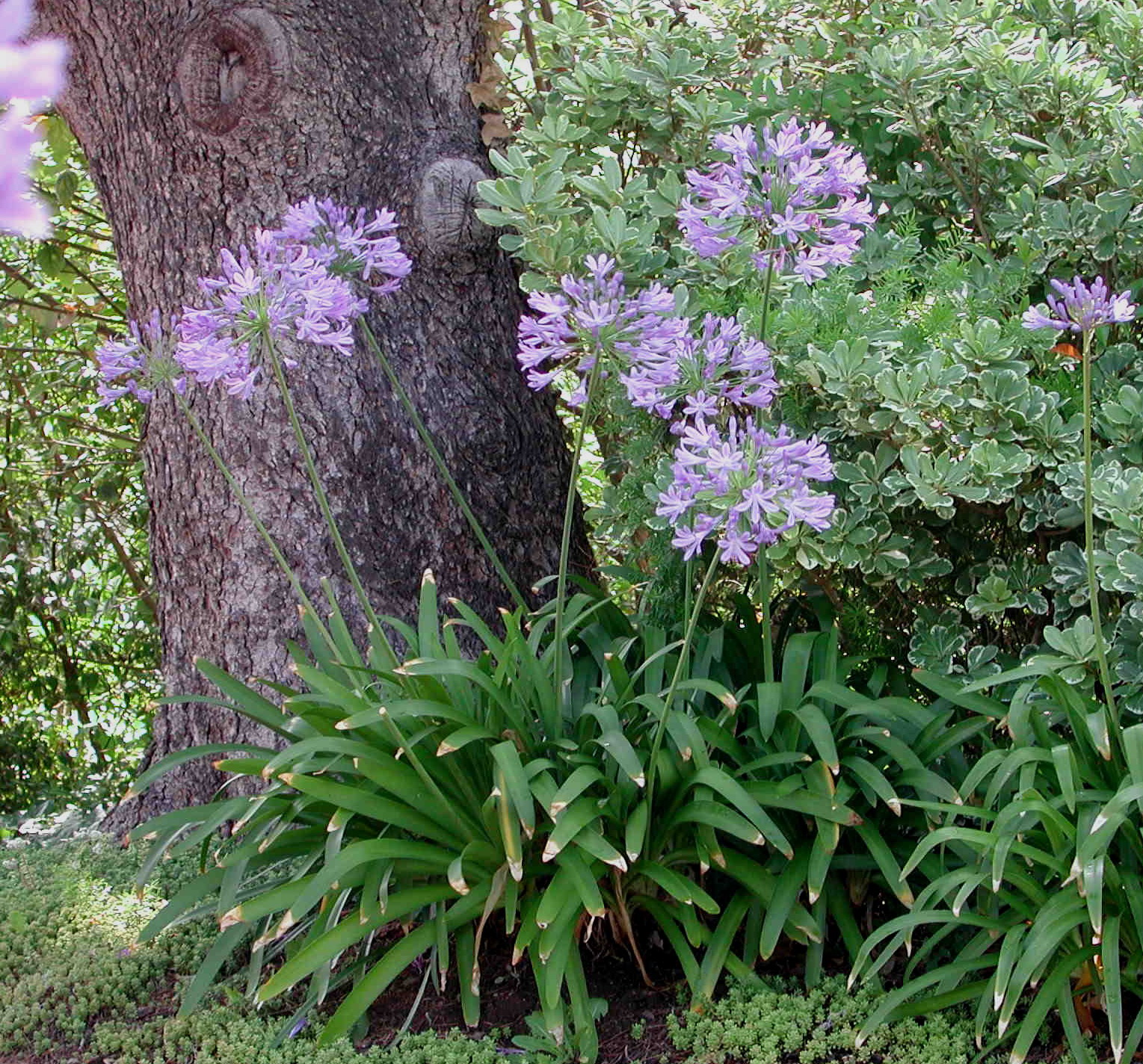 Агапантус фото виды посадка и уход за цветком