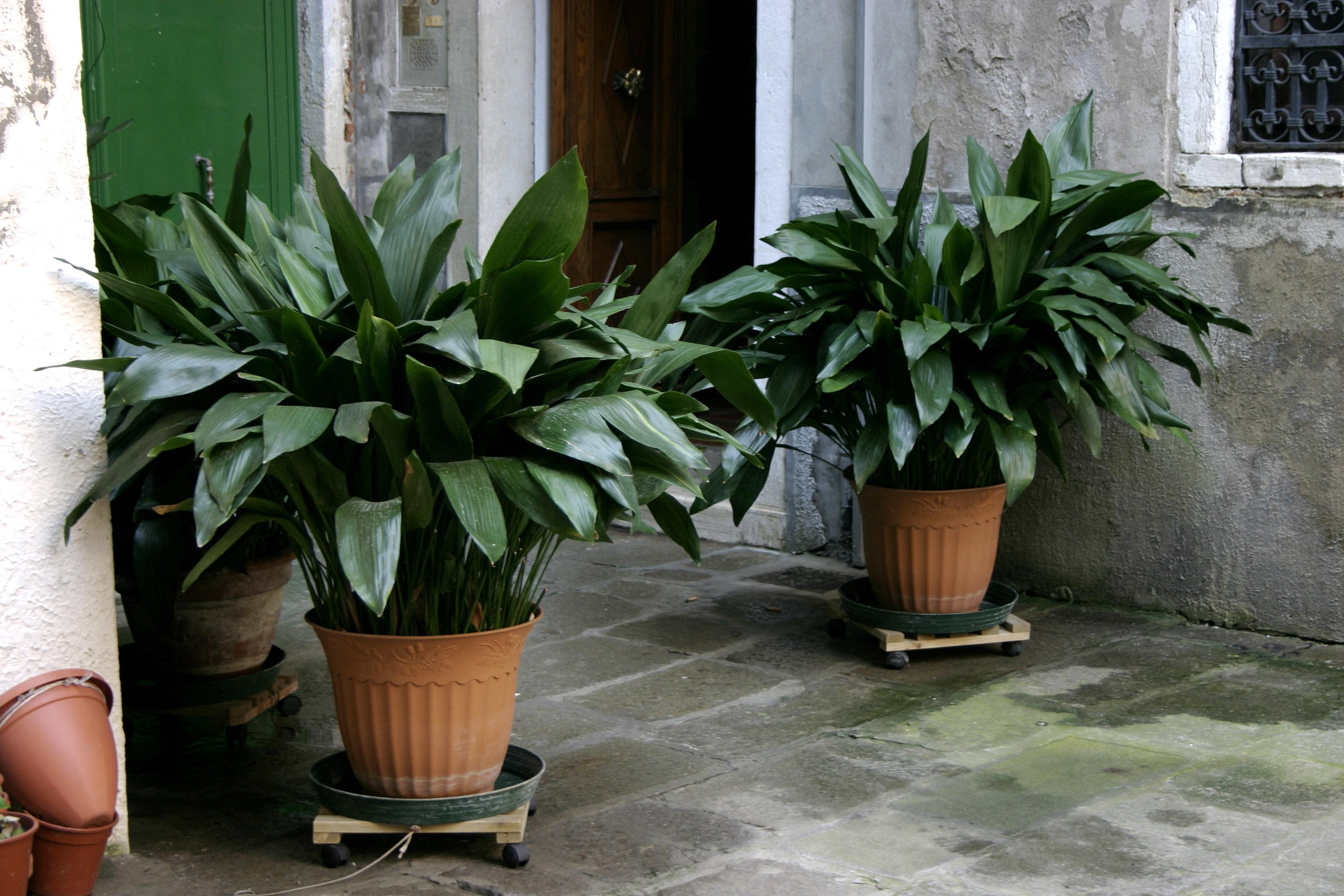 Лилейные комнатные растения фото 7674