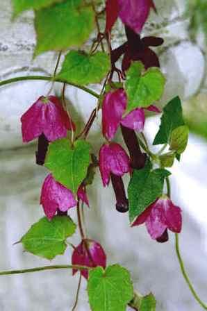 вьющиеся комнатные цветы фото: