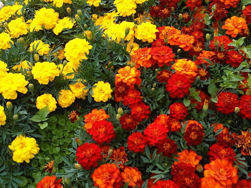 http://www.vashsad.ua/downloads/image/00000/Tagetes_6.jpg