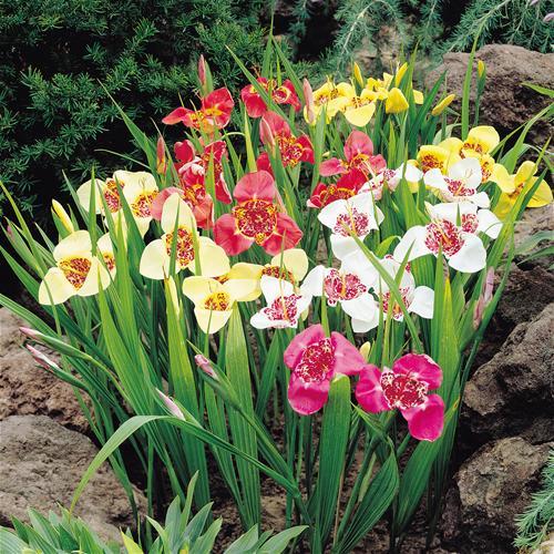 Анютины глазки характеристики и фото цветов