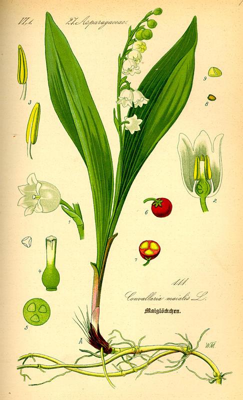 Ландыш майский (Convallaria majalis) - описание вида, фотографии, уход, содержание, пересадка, вредители, размножение - Ландыш н