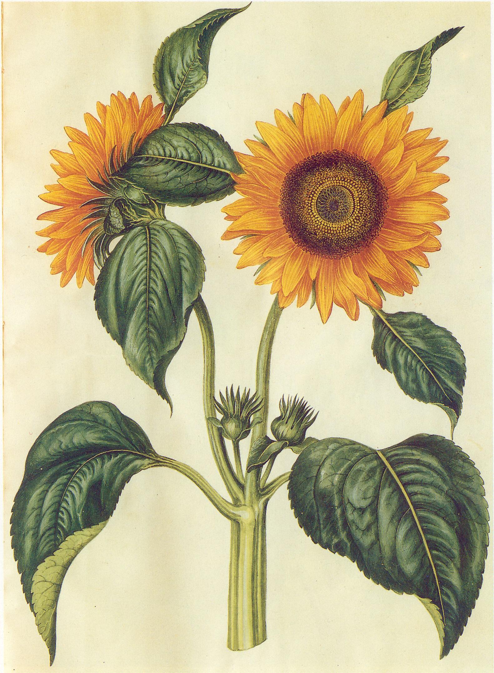 Подсолнечник декоративный — яркие солнечные краски в вашем саду