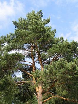 Cоснa – необыкновенное хвойное дерево