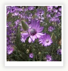 Бессмертник цветок полевой