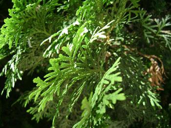 Дерево пихта и ее применение пихтовый