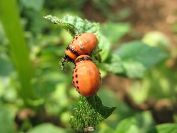 Колорадский жук - меры борьбы с ним, средства, препараты
