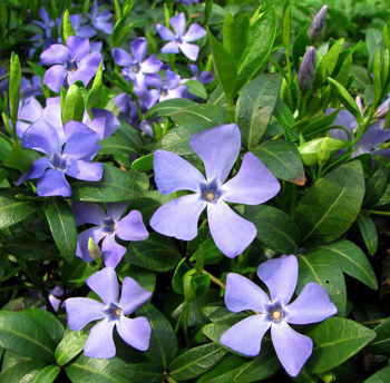 Цветы барвинок фото