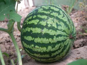 Арбузные секреты, или что нужно знать при выращивании арбузов