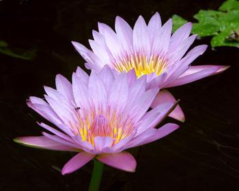 Водяные цветы лилии лилии на ваш сад