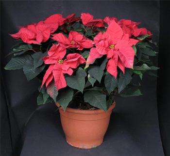 Цветок рождественская звезда (пуансеттия): уход ...