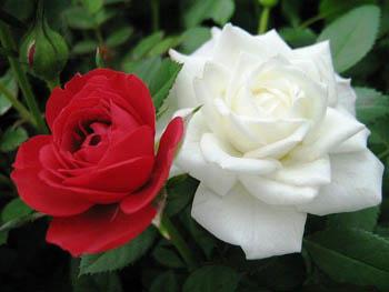 Про розы интересные факты