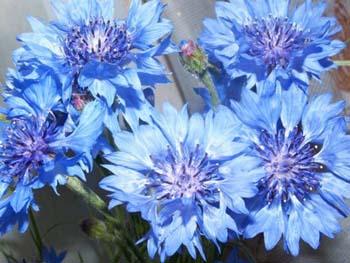 Василек полевой, многолетний, луговой ...: www.vashsad.ua/plants/interesting_plants/show/6442