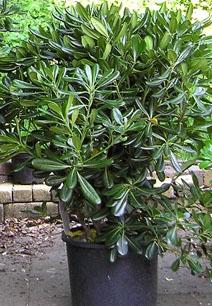 В дальнейшем фейхоа можно размножать черенками (срезая полуодревесневшие побеги длиной 10-12 см с 2-3 листьями в...