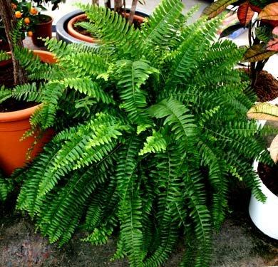 Комнатные растения фото папоротники