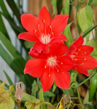 Валотта vallotta цветущее комнатное