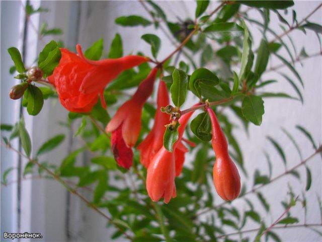 Ценителям цветущих бонсай можно порекомендовать гранатовое дерево, но лишь в том случае, если для него найдется...
