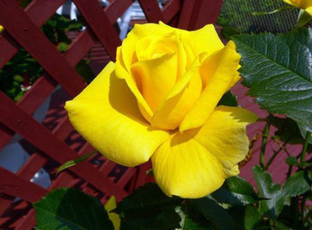 Но желтые розы как известно могут