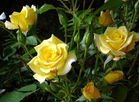 Роза желтого цвета символизирует силу