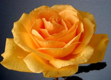 Зачастую желтые розы дарят в