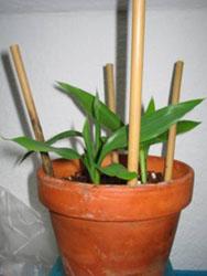 Бамбук, приносящий счастье