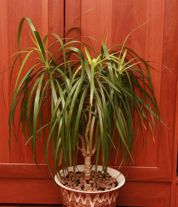 Пальмы и драцены в домашних условиях 888