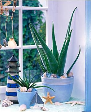 Цвет ночи онлайн комнатные растения