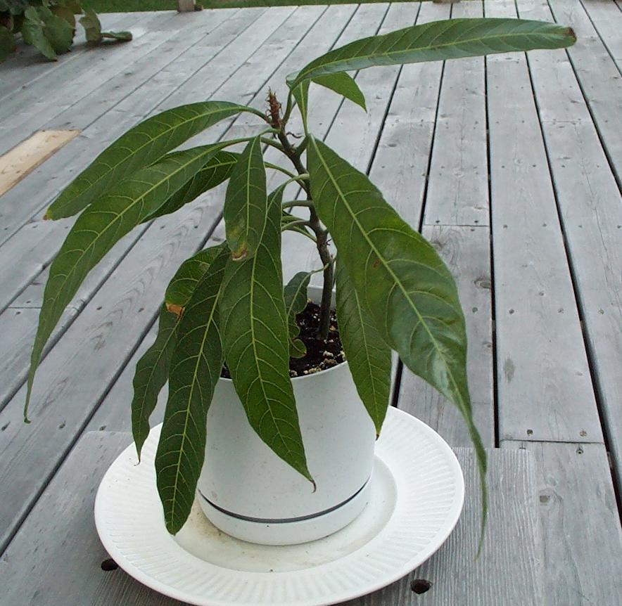 Манго выращивание в домашних условиях видео