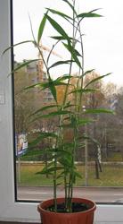 Как вырастить имбирь на подоконнике?