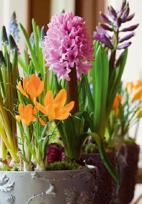 Купить цветы луковичные в горшках