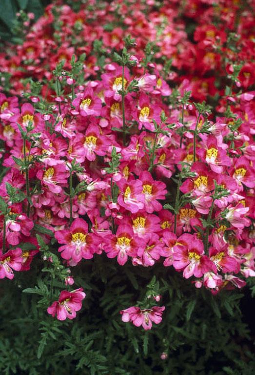 Схизантус выращивание дома 48