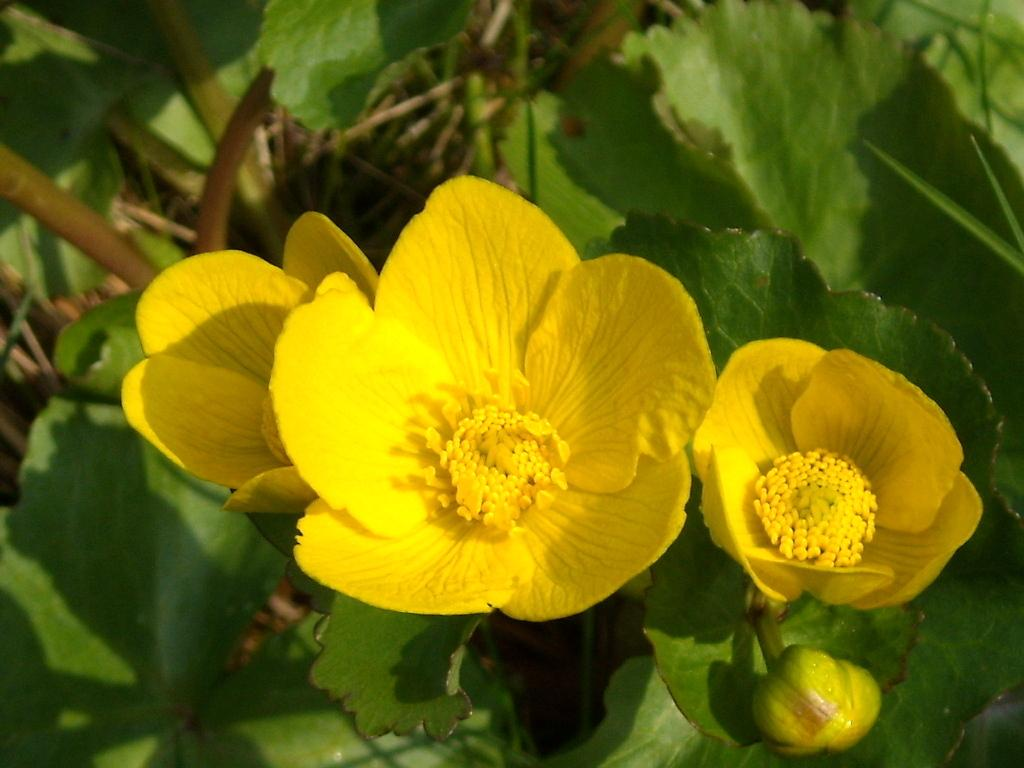 Калужница цветы