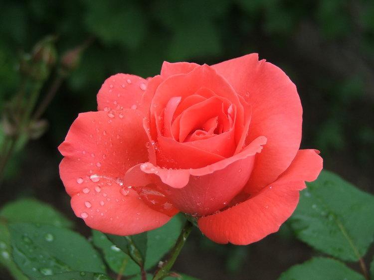Насекомые-вредители, нападающие на розы