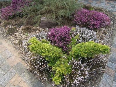 фото вереск в саду