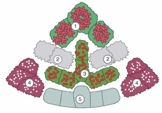 Красоднев (Hemerocallis) 'Ed