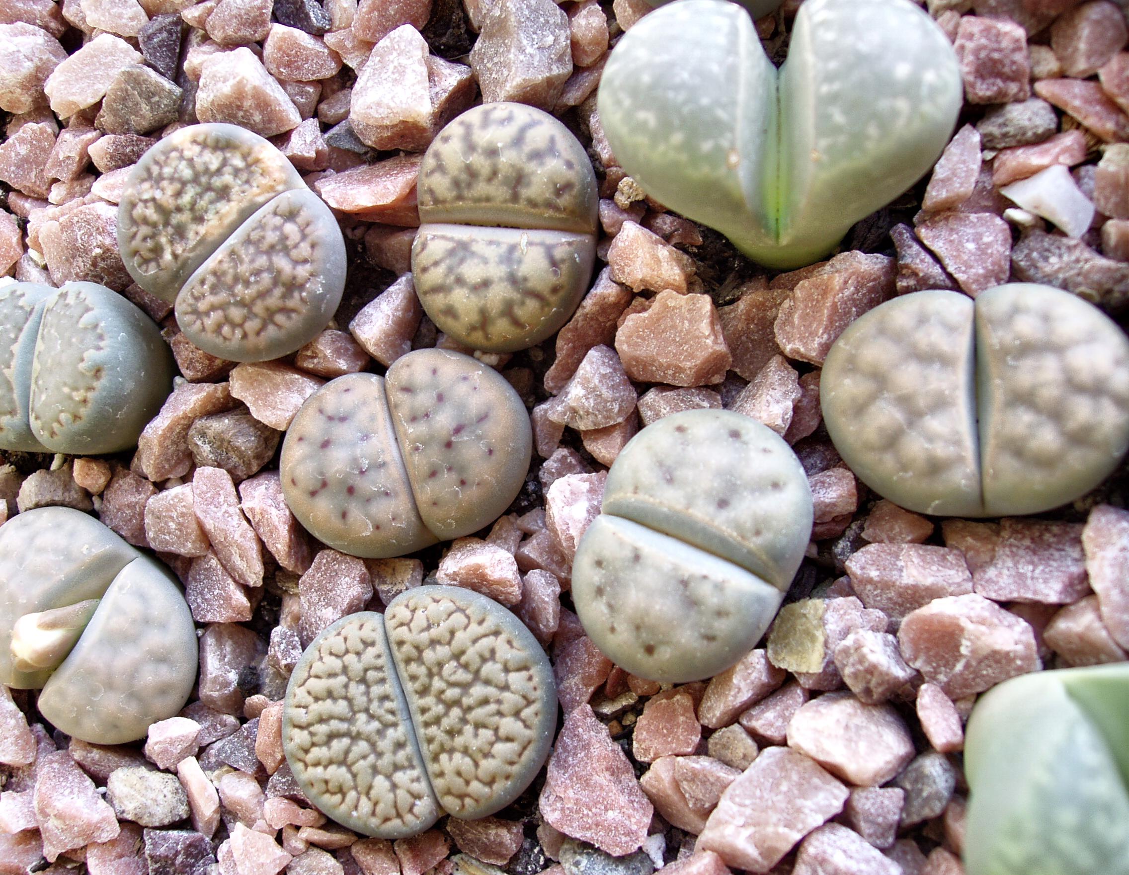 Комнатные цветы литопс живые камни доставка цветов бланк