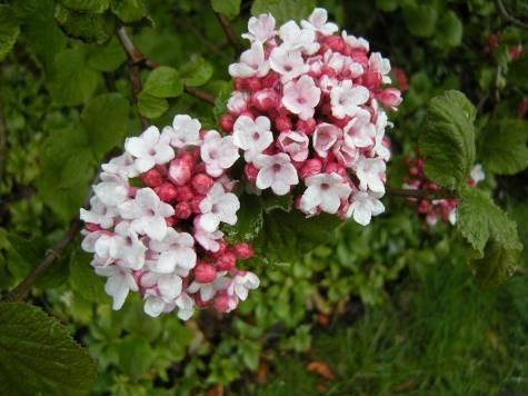 Оживляет сад рододендронов, придавая ему азиатские нотки, и элегантный кизил с цветками небесной красоты.