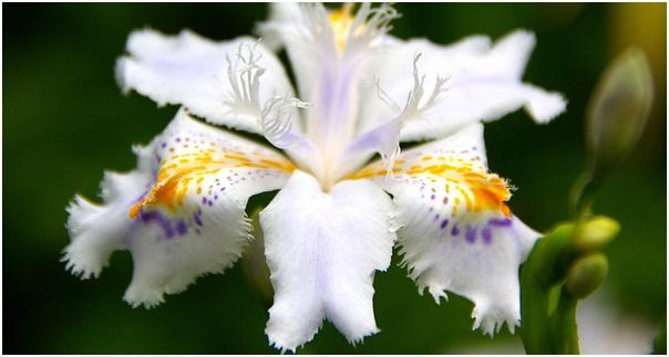 В Японии эти ирисы совершенно справедливо считаются одним из самых неприхотливых и выносливых растений, это цветок...
