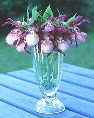 уход за орхидея в горшке в домашних условиях