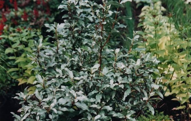 облепиха.  Список растений с серебристой и серой листвой велик.  И не обязательно это растения из южных регионов.