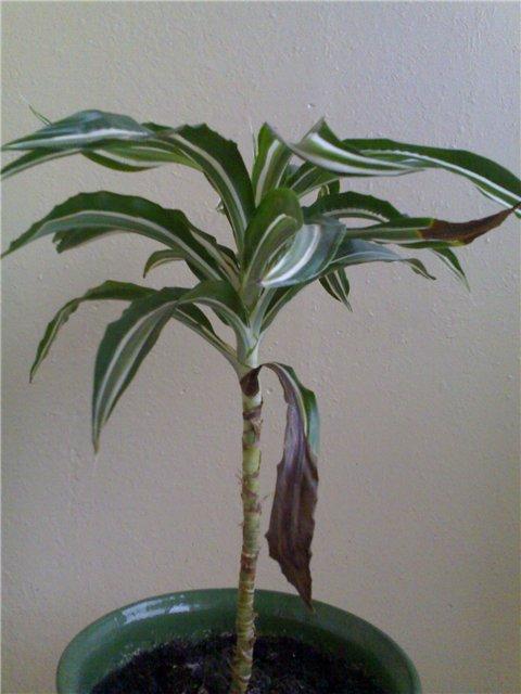 потрепанное клоканье: рисунки карандашом растений украины