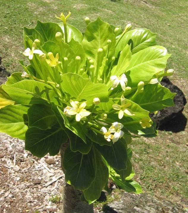 – экзотическое комнатное растение