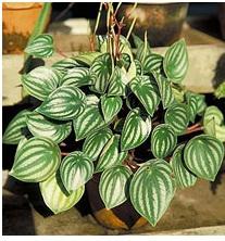 растение под знаком рак