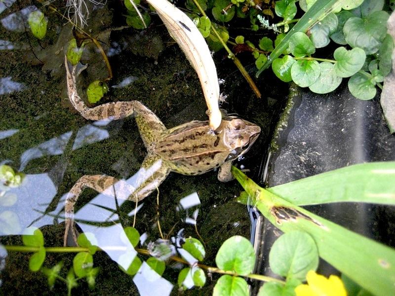 Значимая роль лягушек и жаб в саду Жаба Зеленая