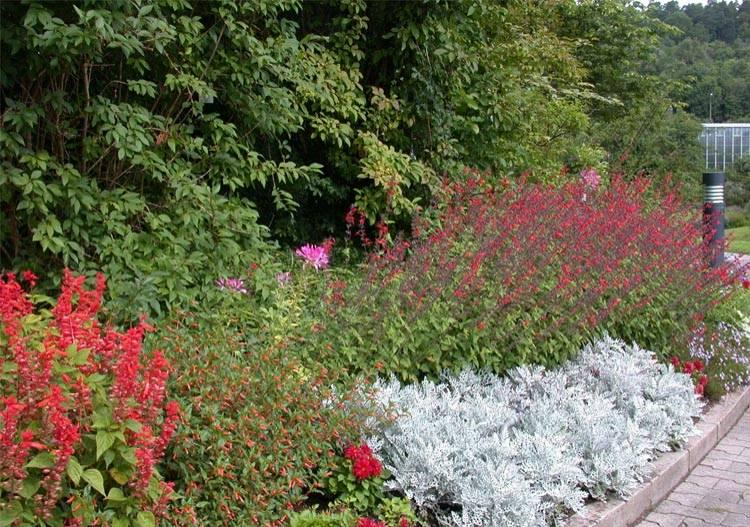Купить рассаду цветов:Клеома колючая (гибридная)