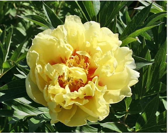 Как вырастить штамбовую розу? 84
