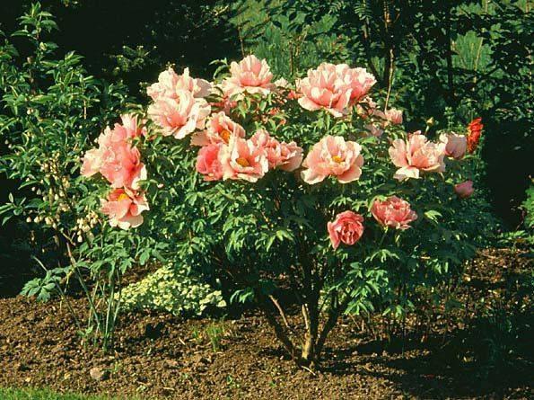 Цветы пионы фото - Фото цветов.
