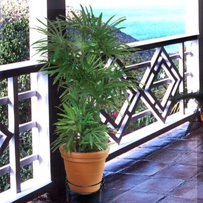 Драцена бамбуковая уход в домашних условиях