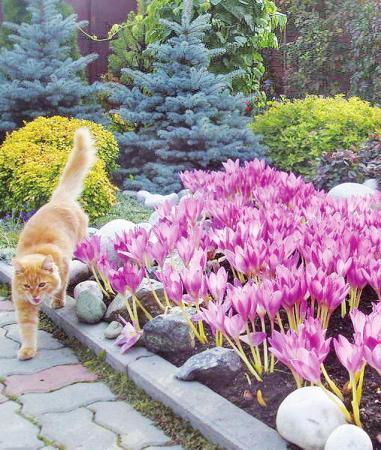 цветы фото безвременник