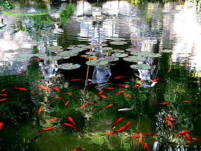Очень красивая фотография красных рыбок в пруду.